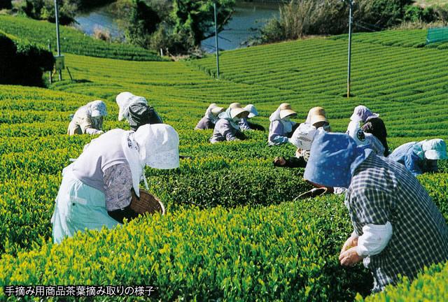 手摘み用商品茶葉摘み取りの様子